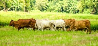 De landbouwseizoen, groep die koe rond het geoogste padieveld lopen stock afbeelding