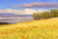 De landelijke landschapslente Tussen Apulia en Basilicata: olijfgaard in cornfield met papavers Italië Stock Afbeelding