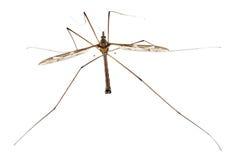 De lang-benen van de langpootmug of van de papa, maxima Tipula stock afbeeldingen
