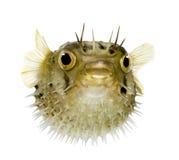 De lang-stekel porcupinefish kent ook als doornige balloo royalty-vrije stock foto's