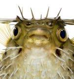 De lang-stekel porcupinefish kent ook als doornige balloonfish - Diodon stock afbeelding