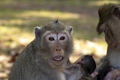 De lange aap van Staartmacaque omhelst haar baby, zitting en het bekijken ons met ogen en wijd open mond royalty-vrije stock foto