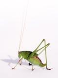 De lange antennes van de sprinkhaan royalty-vrije stock afbeelding