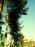 De lange bomen ontruimen blauwe hemel stock foto