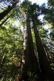 De lange Bomen van de Californische sequoia. Royalty-vrije Stock Foto