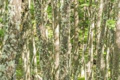 De Lange Bomen van de detailmening met Mos bij het Bos van Patagonië, Argentinië Royalty-vrije Stock Afbeelding