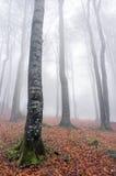 De lange boomstammen van de beukboom in de herfst Stock Afbeeldingen
