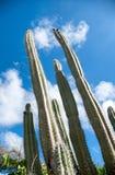 De lange cactus van de orgaanpijp op Aruba Stock Fotografie
