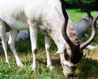 De lange gehoornde herten eten gras Royalty-vrije Stock Foto's