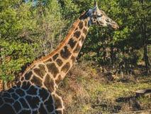 De lange halsgiraf in de wildernis stock afbeeldingen