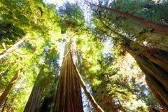 De lange oude bomen van de de groeicalifornische sequoia in zonlicht Royalty-vrije Stock Foto's