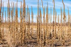 De lange Winter van Prairieinstallaties Stock Foto's