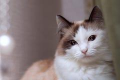 De langharige kat, blauw-eyed, parels, glans, huisdier, ziet eruit, bont, ogen, gezicht, portret, dier, achtergrond, bruut dier,  royalty-vrije stock afbeeldingen
