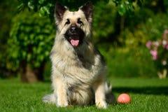 De langharige zitting van de Duitse herderhond met bal Stock Afbeelding