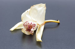 De langzaam verdwenen bloei van de orchideebloem op de zwarte achtergrond Stock Foto's
