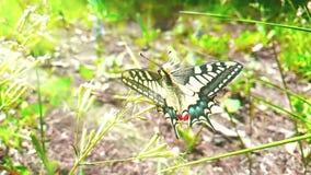 De langzame motie die van witte en gele vlinder nectar van een bloem en dan een vlieg verzamelen gaat op groene bladerenachtergro stock video