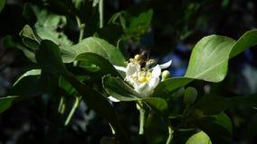 De langzame motie van bij op oranje bloesem verzamelt nectar Bijen op boombloem stock videobeelden