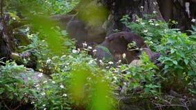 De langzame Motie van Zon draagt in bos tussen bomen bij dierentuin Aziatisch Honey Bear stock videobeelden