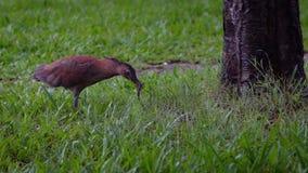 De langzame reiger die van de motie Maleise nacht een aardworm jagen voor eet in Park Taipeh stock videobeelden