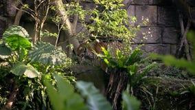 De langzame tijger van Motiebengalen eet op gras van bos tussen bomen bij dierentuin stock videobeelden