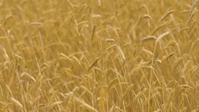 De langzame van de het gebiedswind van de motietarwe bewegende gewassen, gele oren in de herfst vallen, vruchtbaarheid stock videobeelden
