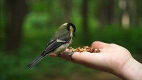 De langzame vogel van de motiemees in het bosland op hand en neemt een zaad stock footage