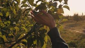 De langzame vrouwelijke handen van motiedetails wat betreft de bladeren van de appelboom stock footage