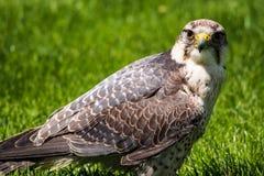 De lannervalk, Falco-biarmicus in een Duits aardpark royalty-vrije stock afbeeldingen