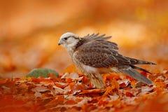 De Lannervalk, Falco-biarmicus, de zeldzame roofvogel van Afrika met sinaasappel verlaat tak in de herfstbos, Spanje Het wildscèn royalty-vrije stock foto