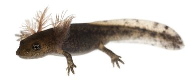 De larve die van de brandsalamander de externe kieuwen, Salamandra-salamandra tonen stock fotografie