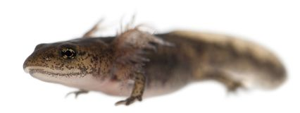 De larve die van de brandsalamander de externe kieuwen, Salamandra-salamandra tonen stock afbeeldingen