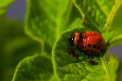 De larve van Colorado eet een aardappel weggaat Stock Afbeeldingen