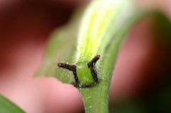 De larve van de vlinder royalty-vrije stock foto's