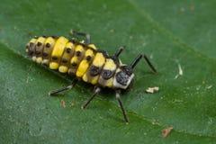 De larve van het onzelieveheersbeestje Royalty-vrije Stock Foto