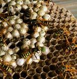 De larve van het wespenvoer in vespiary Royalty-vrije Stock Afbeeldingen