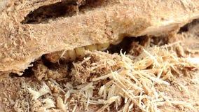 De larve van de kever van de Kokosnotenrinoceros of Oryctes-rinoceros is de de gevaarlijke kokosnoot en palm van het insectongedi stock videobeelden
