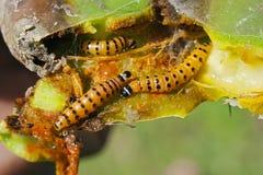 De larven van Cactorumcactoblastis op een stekelige peer stock foto's