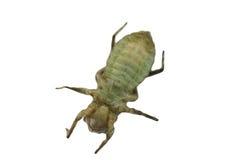De larven van de libel Royalty-vrije Stock Afbeelding