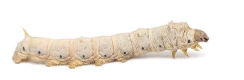 De larven van de zijderups, Bombyx mori Royalty-vrije Stock Afbeeldingen