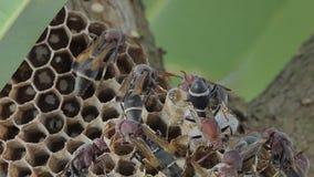 De larven van wesp waren nemen zorg door volwassenenwesp stock videobeelden