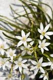 De las flores blancas de la floración estrellas de la noche maravillosamente foto de archivo libre de regalías