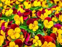 De las flores del pensamiento del top campo hermoso abajo del cierre de la hierba verde para arriba borroso como fondo en el colo Imagen de archivo