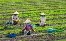 De las mujeres de la planta menta vietnamita de los jóvenes hacia fuera Fotografía de archivo
