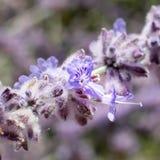 De lavendel bloeit close-up Stock Foto's