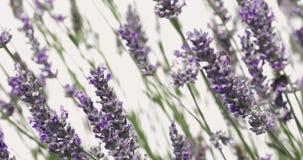 """De lavendel bloeit zich zacht het bewegen in de de zomerwind met honingbijen en stuntelt de Zomerachtergrond van de bijen†""""Aard stock video"""
