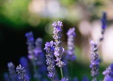 De lavendel van de bloesem Royalty-vrije Stock Foto's