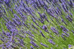 De lavendel van de Provence royalty-vrije stock foto's