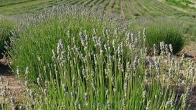 De lavendel van de eerste bloei in rijen met het kweken van bloemen op gebied stock footage