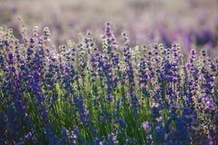 De lavendelbloemen van de Provence royalty-vrije stock afbeeldingen