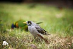De lawaaierige close-up van de mijnwerkersvogel Stock Foto